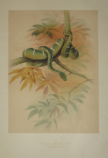 [WOLF, Joseph] [1820-1890]. The Green Boa. ['Zoological Sketches'. London: 1861-1867].