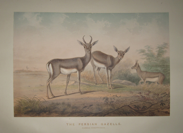 [WOLF, Joseph] [1820-1890]. The Persian Gazelle. ['Zoological Sketches'. London: 1861-1867].