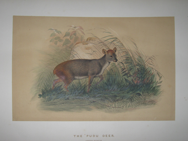 [WOLF, Joseph] [1820-1890]. The Pudu Deer. ['Zoological Sketches'. London: 1861-1867].