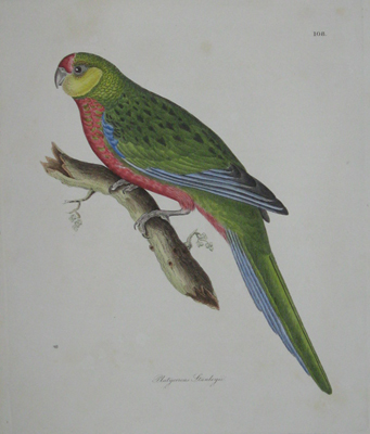 (BIRDS). JARDINE, Sir William [1800-1874] & SELBY, Prideaux John [1788-1867]. LIZARS, W.H. (Engraver). Platycereus Stanleyii [Lord Stanley's Parakeet]. ['Illustrations of Ornithology'. Edinburgh & London: 1826-1835].