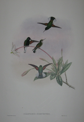 (BIRDS). GOULD, John [1804-1881]. Callipharus Nigriventris [Black-bellied Hummingbird]. J. Gould and & W. Hart del. et lith. Mintern Bos. imp. ['A Monograph Of The Trochilidae'. London: 1880-1887].