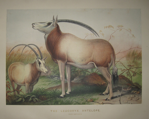 [WOLF, Joseph] [1820-1890]. The Leucoryx Antelope. ['Zoological Sketches'. London: 1861-1867].