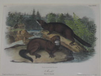 (NATURAL HISTORY). AUDUBON, John James [1785-1851]. Mink. Male & Female. Drawn from Nature by J.J. Audubon… Drawn on stone by R. Trembly. Painted & Col[oure]d. by J.T. Bowen, Philada. [New York: 1852-1854].