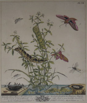 (NATURAL HISTORY). HARRIS, Moses. [Butterflies]. [London: 1766].